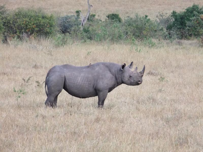 A PHOTOGRAPH OF A RARE BLACK RHINO. MAGIC MEMORY CAPTURED AUTUMN 2016.